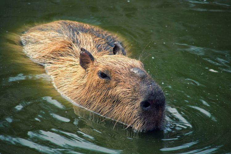 Close-up of capybara swimming in lake