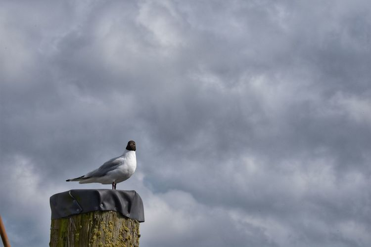 Low angle view of seagull perching on wooden post