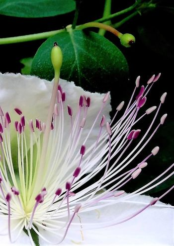 Beauty In Nature Caper Flower Close-up Day Delicate Flower Flower Head Flowering Plant Fragility Freshness Green Color Growth Inflorescence Leaf Macro Nature No People Petal Pink Color Pistil Plant Plant Part Pollen Stamen Vulnerability