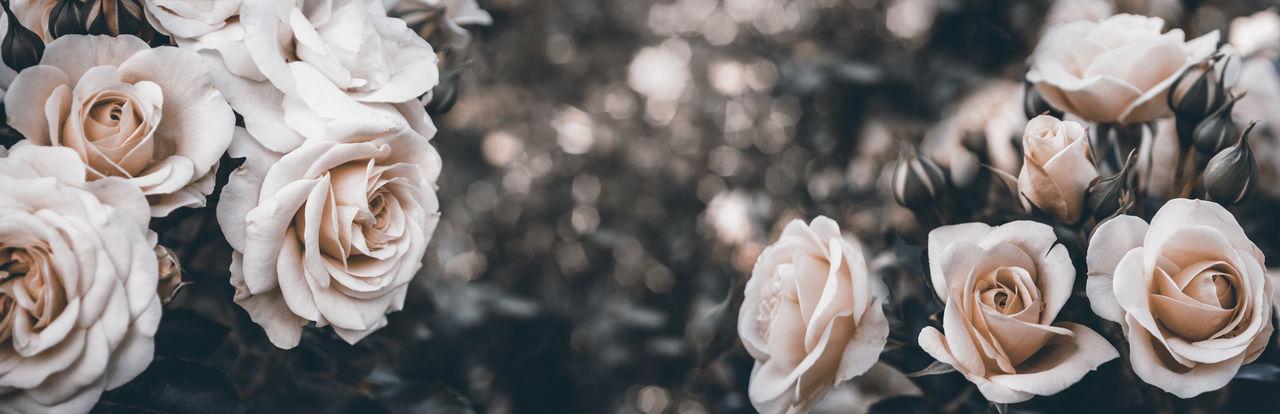 Panoramic view of white roses