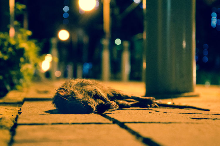 Alone INDONESIA Low Angle View Night Lights Nightphotography Poor  Sidewalk Travel Abandoned City Dead Dead Rat depth of field Night No People One Animal Selective Focus Split Tone Street Streetphotography Travel Destinations HUAWEI Photo Award: After Dark