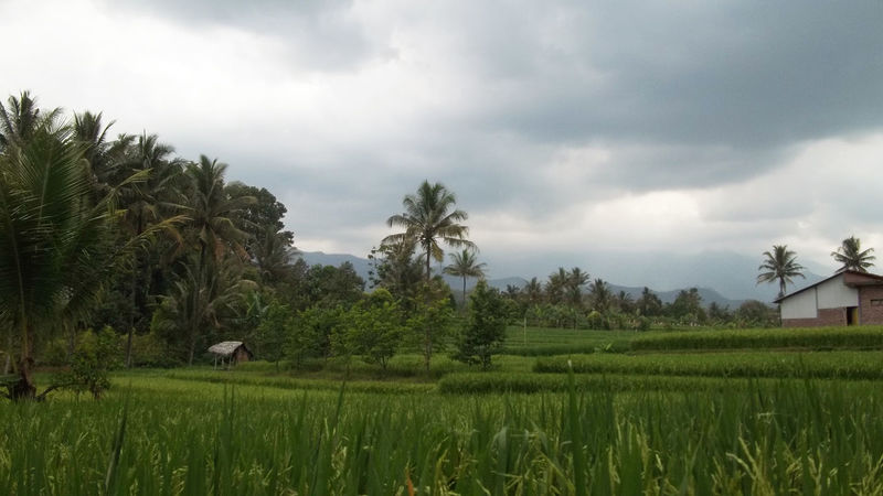 Nature Rice field View Rice Agriculture Beauty In Nature Cloud - Sky Day Farm Field Grass Growth Landscape Nature No People Palm Tree Rice Paddy Ricefield Ricefield View Ricefields Rijall Rijallblues Rural Scene Scenics Sky Tranquil Scene Tranquility Tree