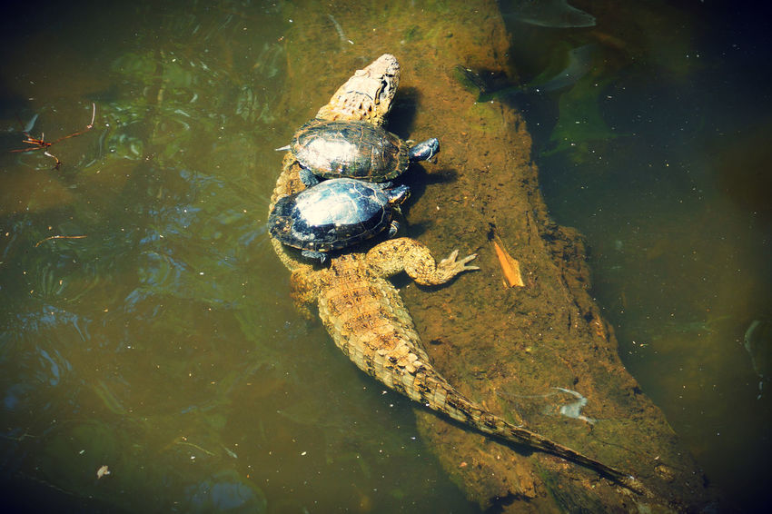 Yacare with a few turtles on top Parque Das Aves Amphibian Animal Animal Themes Animal Wildlife Animals In The Wild Frog High Angle View Lake Marine Nature No People One Animal Outdoors Reptile Swimming Turtle Vertebrate Water Waterfront Yacare