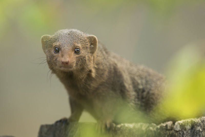 Portrait Of Dwarf Mongoose Outdoors