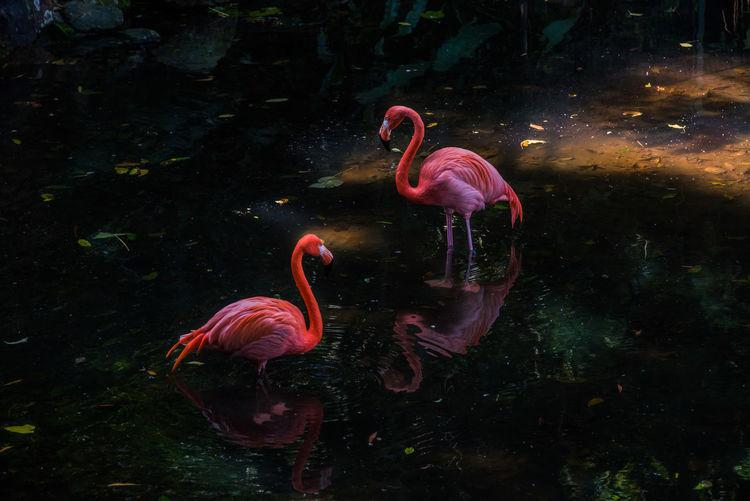 Flamingos in
