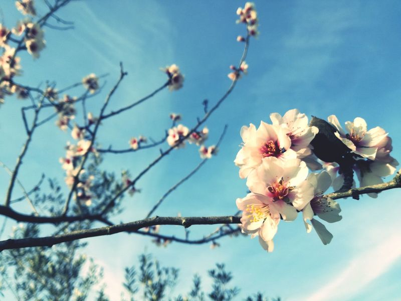 EyeEm Nature Lover Flower Sky Apple Blossom Apple Tree Pollen Fruit Tree In Bloom Plant Life Blooming