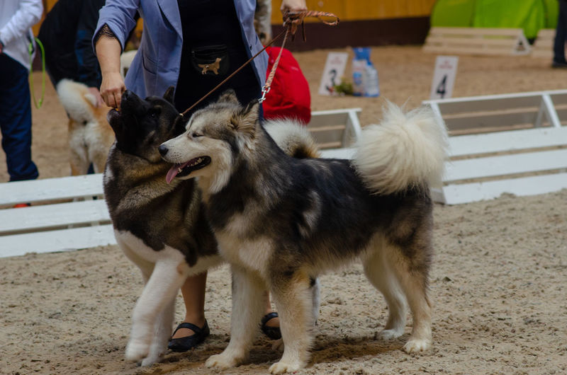 Ratomka, Minsk district / Belarus - 09.22.2018: People and dogs at the dog show Canine Day Dog Domestic Domestic Animals Incidental People Leash Low Section Mammal Men One Animal One Person Outdoors Pet Owner Pets Real People Standing Vertebrate