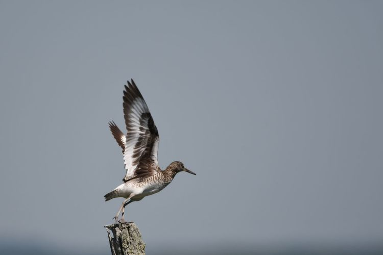Willet Awesome