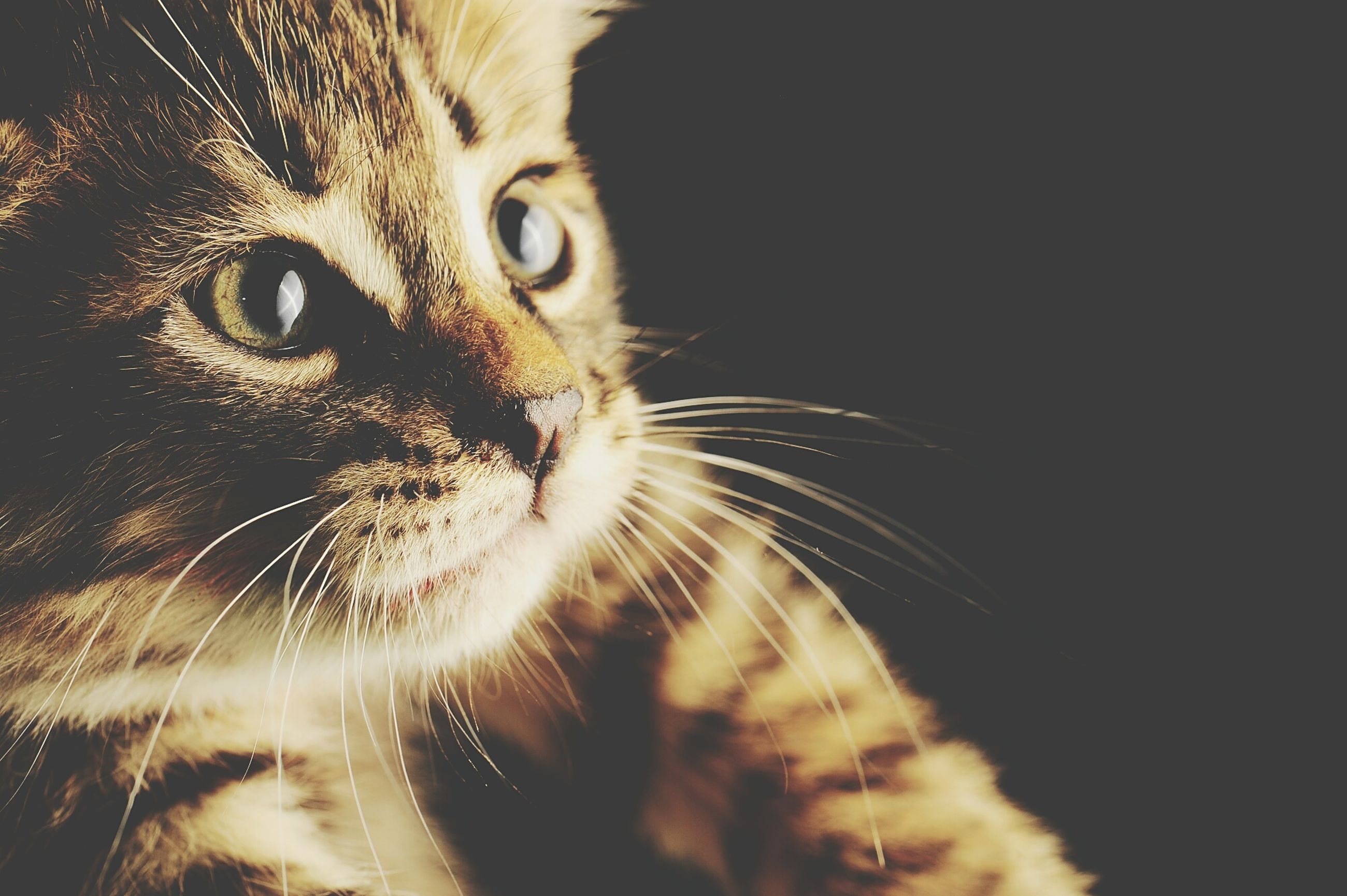domestic cat, cat, one animal, animal themes, feline, pets, mammal, whisker, domestic animals, animal head, close-up, animal eye, portrait, indoors, animal body part, looking at camera, alertness, staring, no people
