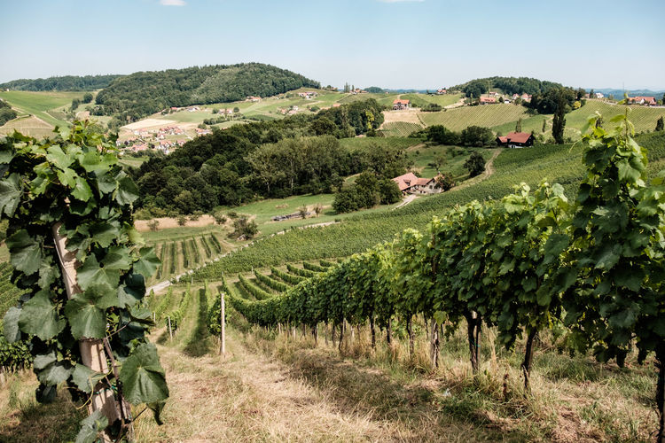Austria / South Styrian Wine Road (Südsteirische Weinstrasse) Austria Green Hills Tranquility Agriculture Beauty In Nature Blue Sky Clear Sky Crop  Farm Houses Field Grapes Growth Landscape No People Outdoors Rural Scene Sky Styria Summer Tranquility Vineyard Wine Winemaking Winetasting