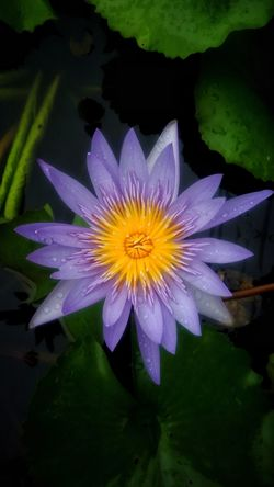 Beautiful purple lotus Flower Freshness Lotus Nature Beauty In Nature FloralBeautifulflower  Beautiful Nature Colorfulflower Flora Colorful Blossomflower Blossom Fresh Purple Flower Purple Lotus Flower