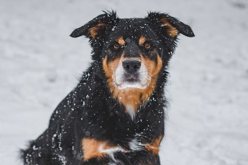 Snow One Animal Cold Temperature Winter Mammal Animal Animal Themes Looking At Camera No People Nature Snowing Vertebrate Canine Domestic Animals Domestic Portrait Outdoors Animal Wildlife Pets Dog