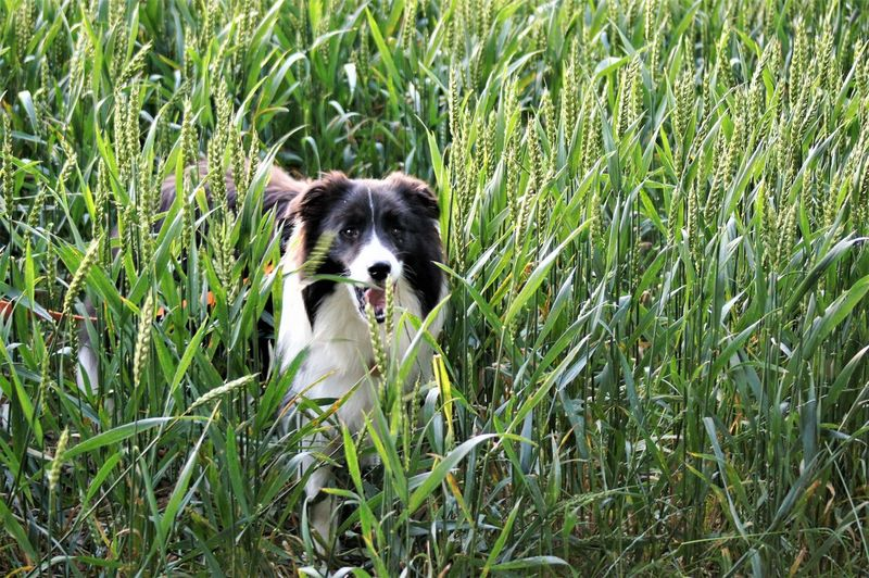 Dog in a ears ofwheat field looking at camera. Animal Themes Animal One Animal Dog Canine Mammal Vertebrate Pets Pet Owner Pedigree Outdoors Animal Mouth Mouth Open Animal Body Part Animal Teeth Animal Tongue Black Color White Color Plant Growth Ears Of Wheat Wheat Field Cereal Plant Crop  Agriculture Environment Domestic Domestic Animals Green Color Land Nature Beauty In Nature Border Collie Standing Sunlight Silhouette Shadow Whisker Field No People Puppy Young Animal Long Haired Dog Animal Eye Leaves Day High Angle View Selective Focus Looking At Camera Portrait