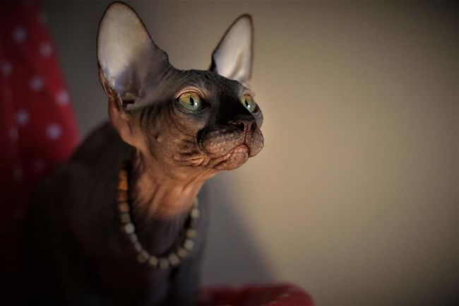 One Animal Portrait Animal Head  Pets Looking At Camera Domestic Animals Close-up Day No People Cute Sphynx Nature Sphynxportrait Sphynxlove Young Animal Animal Body Part Cat Sphynx Cat Indoors  Mammal Animal Themes Looking At Camera