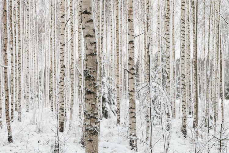 Full Frame Shot Of Tree Trunks In Winter