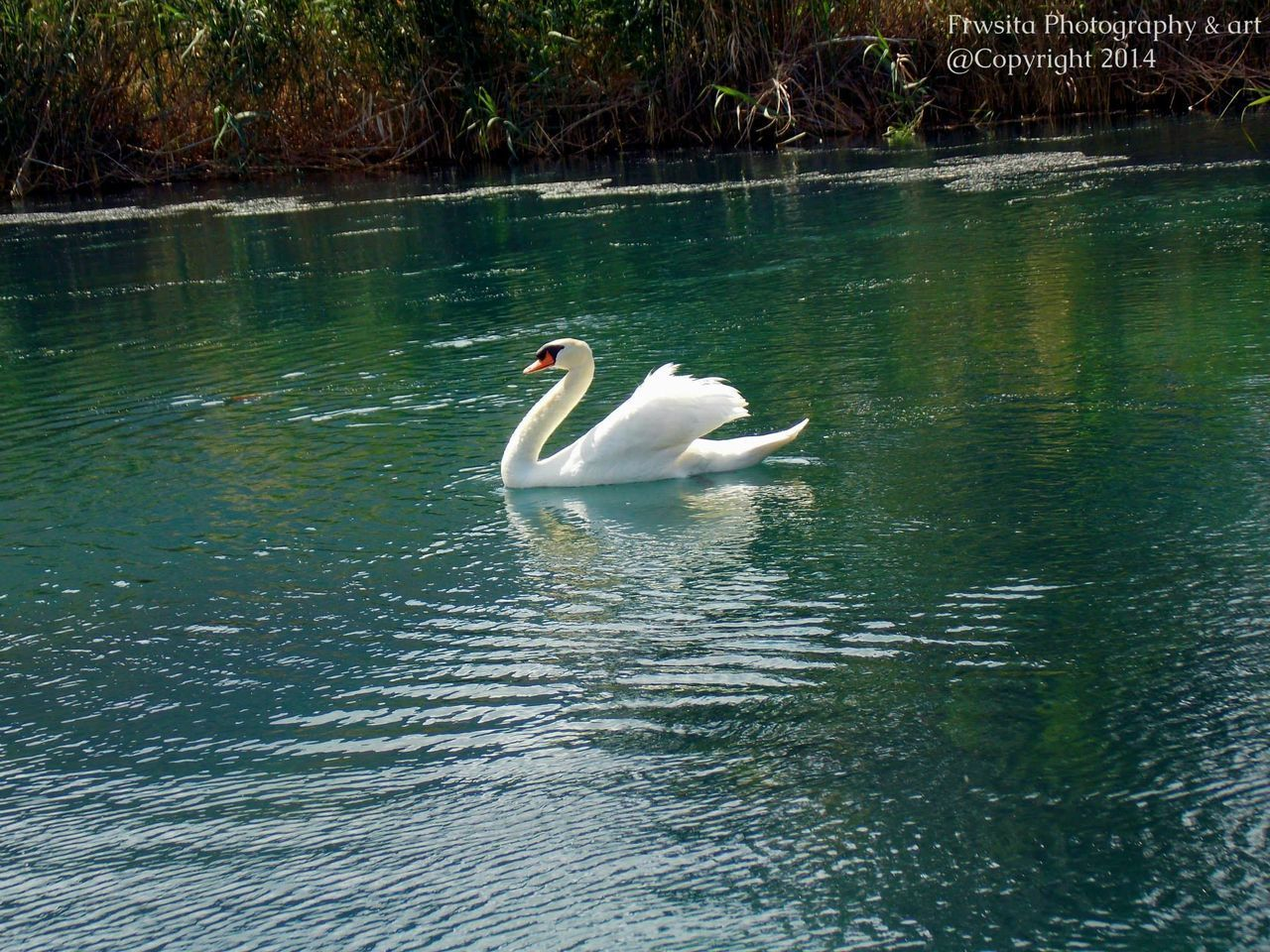 animals in the wild, one animal, animal themes, lake, swan, water, bird, reflection, swimming, day, waterfront, animal wildlife, nature, no people, outdoors