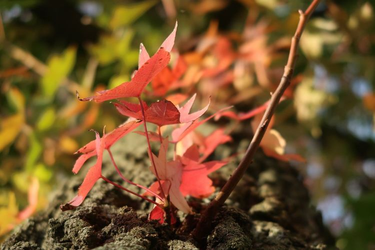 Autumn colors Autumn Leaf Plant Part Plant Autumn Change Beauty In Nature Close-up Nature Growth No People Focus On Foreground Tree Red Day Outdoors Leaves Orange Color Maple Leaf Branch Tranquility