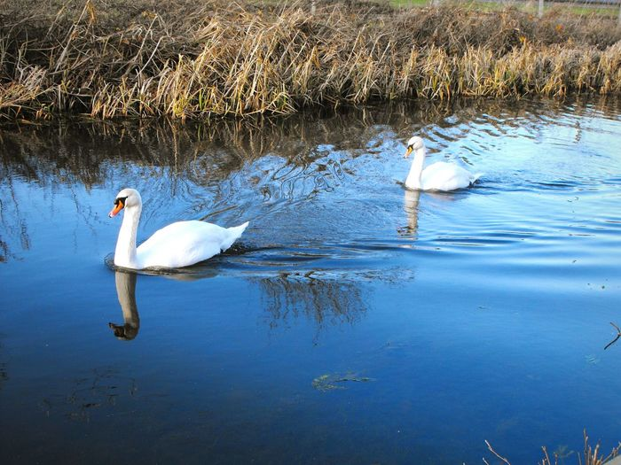 ... Swans ... Bird Water Animals In The Wild Swimming Reflection Lake Animal Themes Water Bird Animal Wildlife Swan Togetherness Beauty In Nature Outdoors Nature No People Day High Angle View White Purity Canal Wales лебеди Stream Together