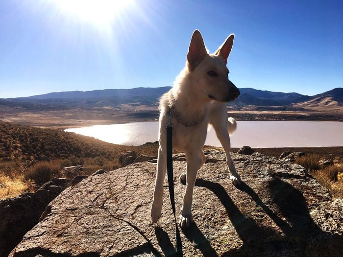 Spirited German Shepherd Dog Summer Hiking Dog Sunlight Mountain Domestic Animals Day Animal Themes One Animal Sky No People Outdoors Nature Pets Beauty In Nature Landscape
