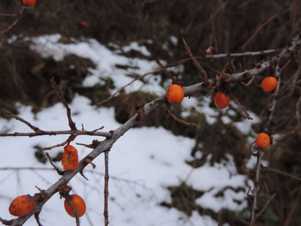 Dark First Snow Morning Nature Winter Close Up Darkness And Light Day Fruits In Winter Light And Shadow Macro Nature No People Outdoors Sky Snow