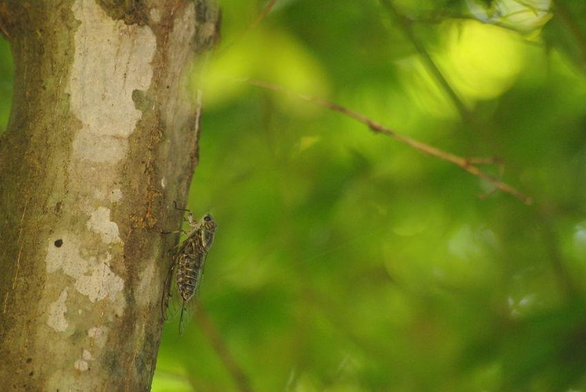 ちゃんと 蝉 さんも撮ったよ!もっと絞れば良かった(^◇^;)笑 Nature EyeEm Nature Lover Cicada 背景は一応モミジ