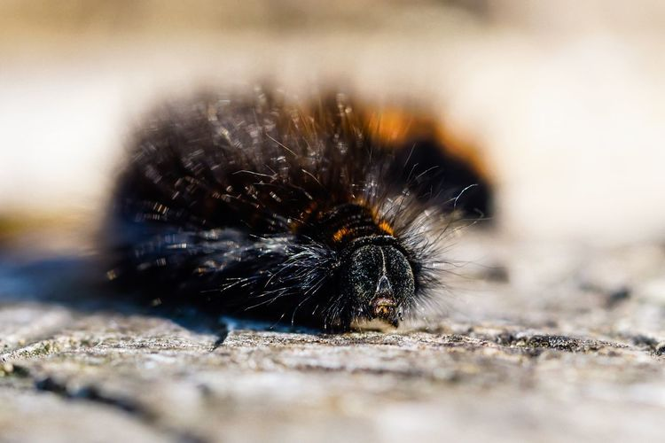 Raupe des Brombeerspinners One Animal Caterpillar Raupe  Brombeerspinner Selective Focus Animal Themes Close-up Insect Wildlife Animals In The Wild No People Focus On Foreground Nature Macro Macro Photography Fox Moth