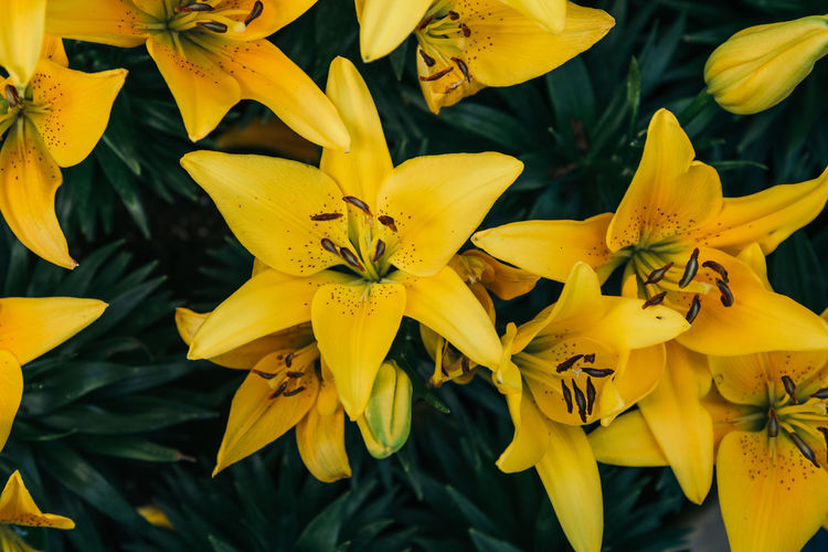 Yellow Lily Flower Garden Lily Yellow Flower Flat Lay Flora Floral Flower Flower Head Flowering Plant Flowers Freshness Garden Growth Lily Flower Nature Petal Plant Top View Yellow Yellow Lily