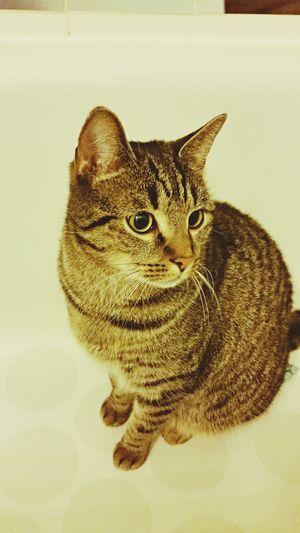 Pets Cat Cimbom