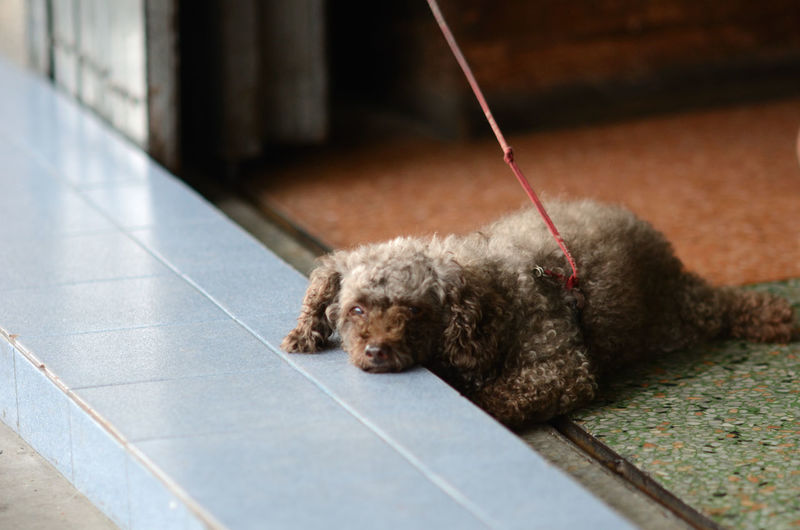 Portrait of hairy dog lying on floor