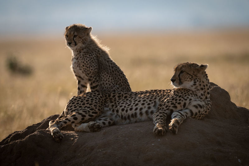 Cheetahs sitting on rock