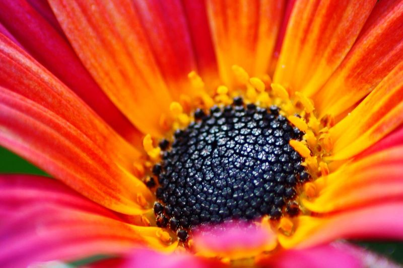 African daisy Flower Petal Fragility Freshness Beauty In Nature Flower Head Nature Growth Close-up No People Outdoors African Daisy