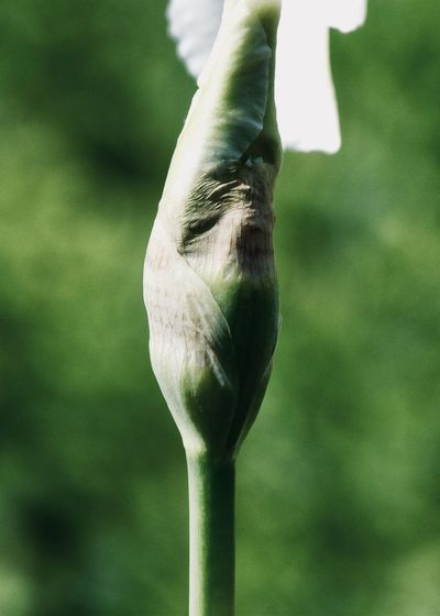 Beginnings; flower bud Copy Space Green Life Backgrounds Beauty In Nature Beginnings Bokeh Bud Close-up Flower Flowering Plant Focus On Foreground Fragility Freshness Garden Green Color Growth Inflorescence Nature New Life Outdoors Plant Plant Stem Vulnerability  White