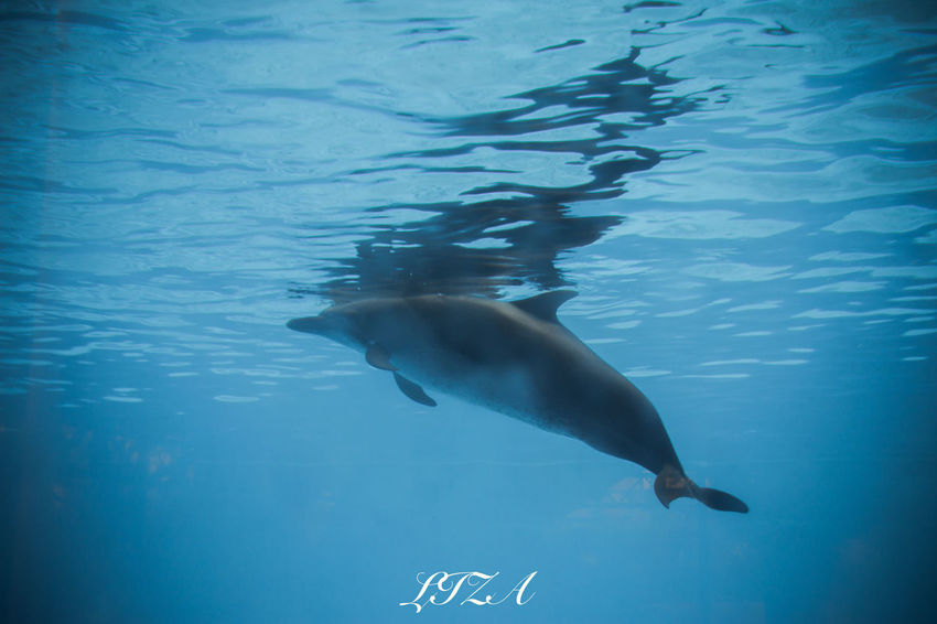 Animals In The Wild Animal Wildlife Sea Life Underwater Swimming Sea One Animal Whale Blue Animal Mammal UnderSea Nature Water No People Dolphin Animal Themes Aquatic Mammal Humpback Whale Beauty In Nature