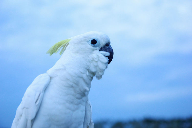 One Animal Animal Themes Bird Animal Parrot Animal Wildlife Cockatoo Animals In The Wild Vertebrate Close-up Blue No People Nature Animal Body Part Sky Focus On Foreground Looking Day Outdoors White Color Animal Head  Falcon - Bird