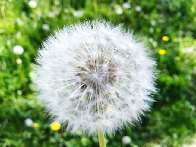 Sommerfeeling Sommer Flower Pusteblume
