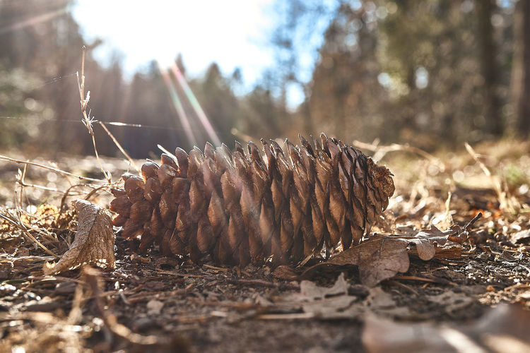 Selective Focus Nature Land Dry Day Plant Field No People Close-up Tree Forest Sunlight Outdoors Surface Level Pine Cone Brown Dead Plant Dried Plant Part Ground Leaves EyeEm Best Shots EyeEmNewHere Eyem Gallery Eyem Nature Lovers  My Best Photo