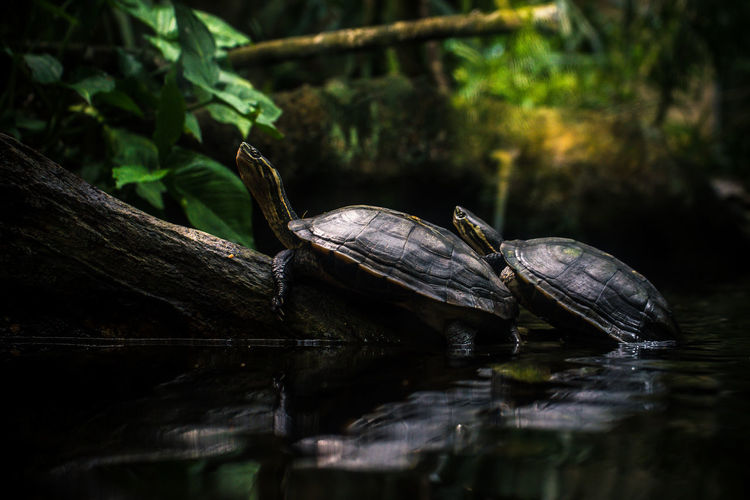 Close-up of turtles in lake