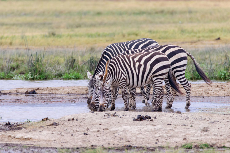 Side View Of Zebras Drinking Water At Lake