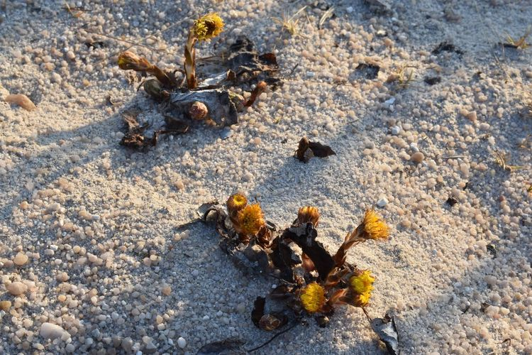 doesnt need much Durable EyeEmNewHere Morning Sun Beach Close-up Day Growth In Nature High Angle View Indestructible Invertebrate Irrepressible Land Marine Nature No People Outdoors Robust Robust Plants🤗 Sand Sand Plant Sunlight Tough Yellow Yellow Plant