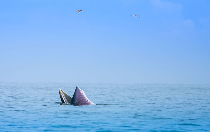 Animal Bruda Whale No People Outdoors Sea Sea And Sky Sky Whale