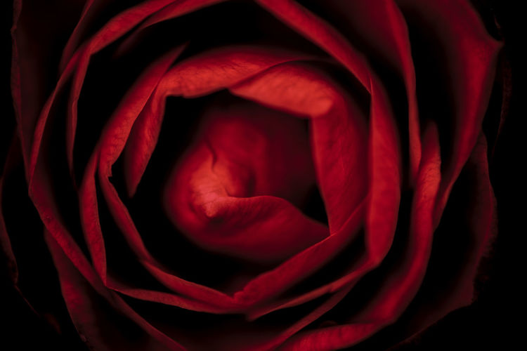 Red rose against black background