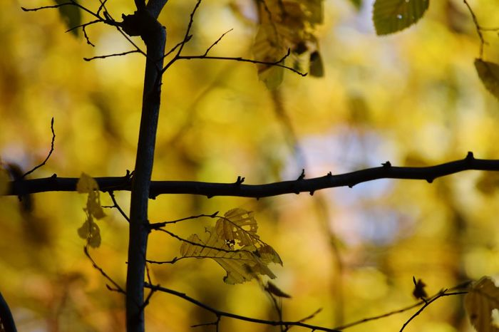 Leafs Yellow EyeEm Selects Focus On Foreground Day Outdoors Nature Barbed Wire No People Branch Close-up Beauty In Nature