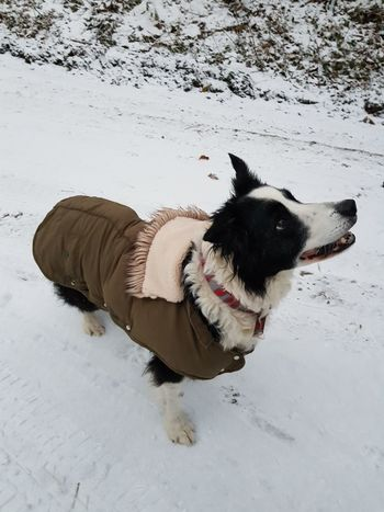 Border Collie Snow ❄ Dog Coat