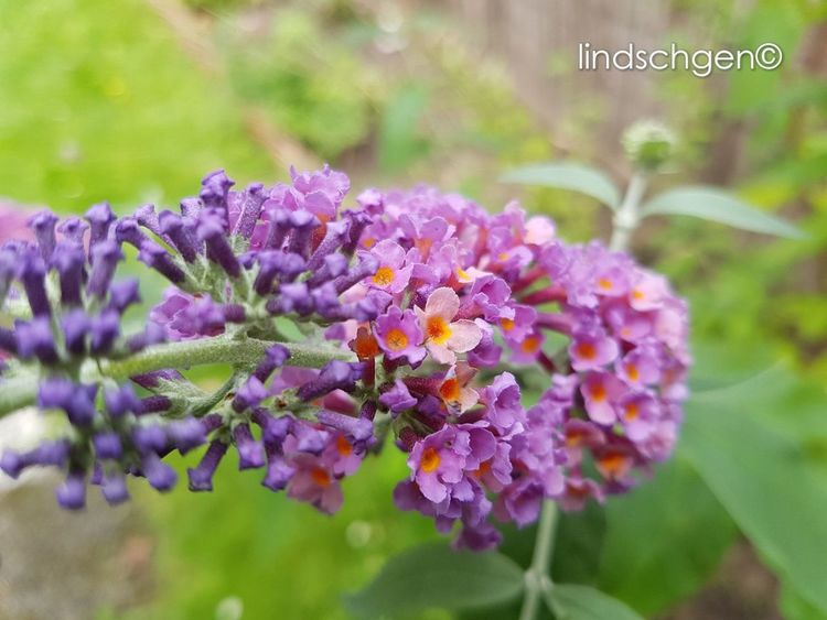 Schmetterlingsflieder Purple Flower Nature Plant Beauty In Nature Blossom Gartenglück Beautiful Nature EyeEm Best Shots Nature In Beauty Glücklich Beauty In Nature EyeEmBestPics Nature EeYem Best Shots EyeEm Best Shots - Nature EyeEm Nature Lover Blooming Naturelovers Dekorativ Aus Meinem Garten