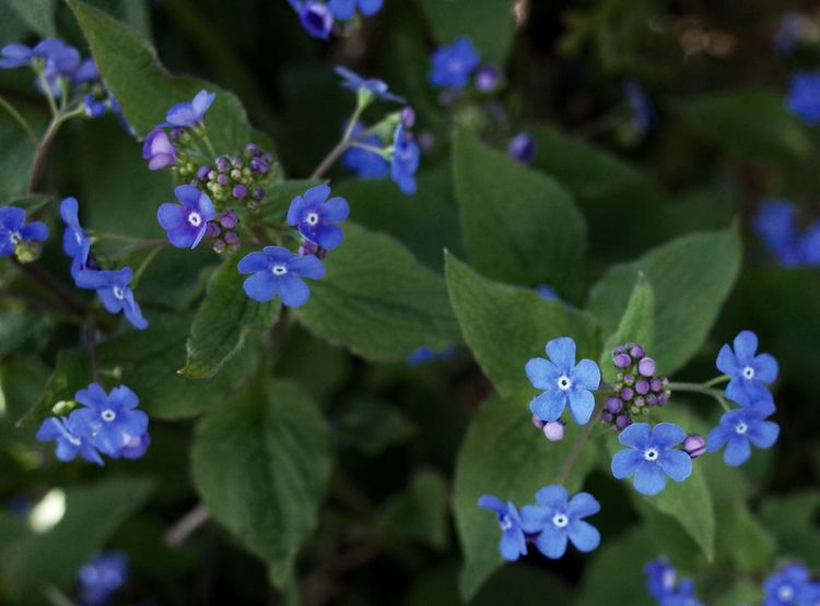 Forget Me Not Blue Flowers Blue Spring Flowers Hello World RICOH GR 2 EyeEm Nature Lover From My Point Of View Plant Flowers, Nature And Beauty Enjoy The Little Things Too Beautiful Blau