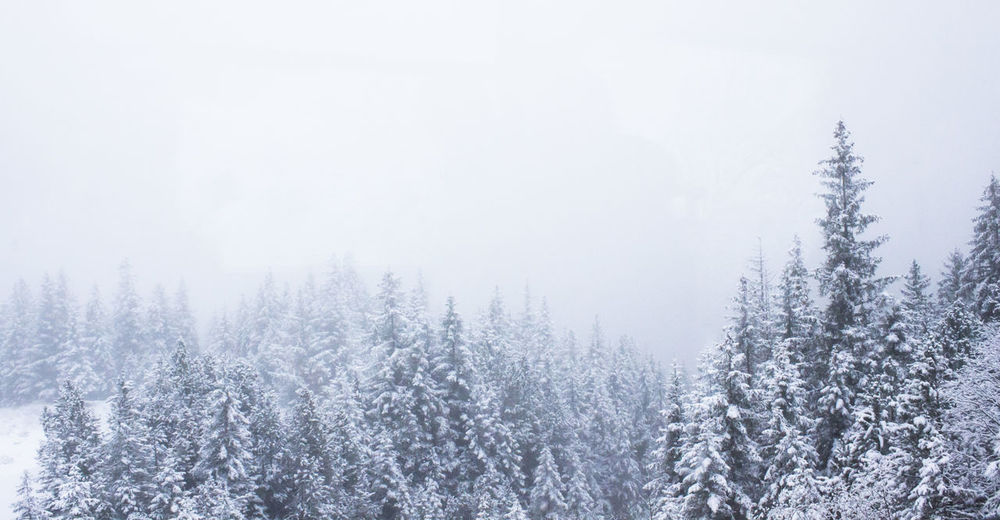 Cold Temperature Winter Snow Tree Forest Plant Nature WoodLand Coniferous Tree Tranquil Scene Non-urban Scene Beauty In Nature Fog Snowing No People
