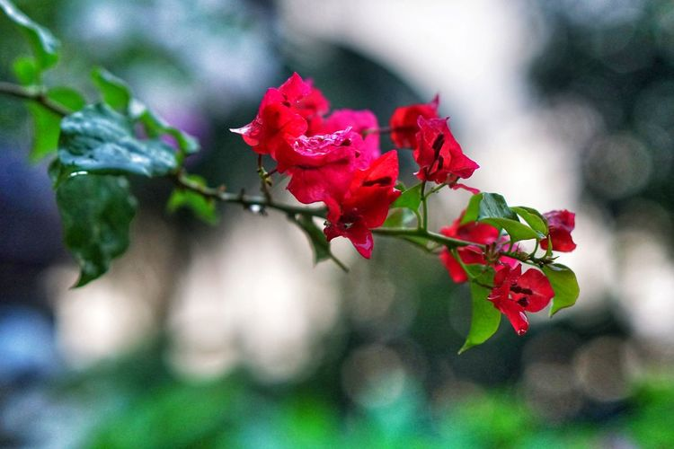 Red Bougainvillea Bougainvillea Red Flower Nature Plant Outdoors No People Growth Leaf Beauty In Nature Close-up Fragility Tree Freshness Flower Head