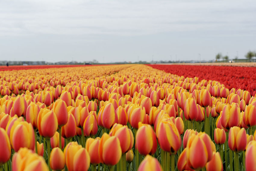 Tulips field near Den Helder, Netherlands Abundance Agriculture Beauty In Nature Close-up Day Field Flower Flower Head Fragility Freshness Growth Nature Netherlands Netherlands ❤ No People Outdoors Plant Rural Scene Scenics Sky Spring Tranquility Tulip Tulips Tulips🌷