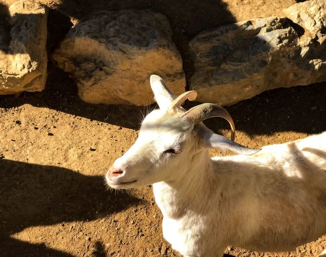 Wildlife Animal Animal Themes Goat Animal Themes Shadow One Animal Sunlight Mammal Domestic Animals Day Sunny No People Field Outdoors Animals In The Wild Nature Close-up