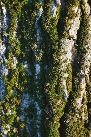 moss on a bark tree Moss Moss-covered Moss And Lichen Textures and Surfaces Textures In Nature Pattern, Texture, Shape And Form Green Color Natural Background Full Frame Backgrounds Day Outdoors No People Pattern Sunlight Nature Tree Close-up Beauty In Nature